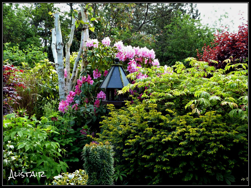 Rhododendron in main border