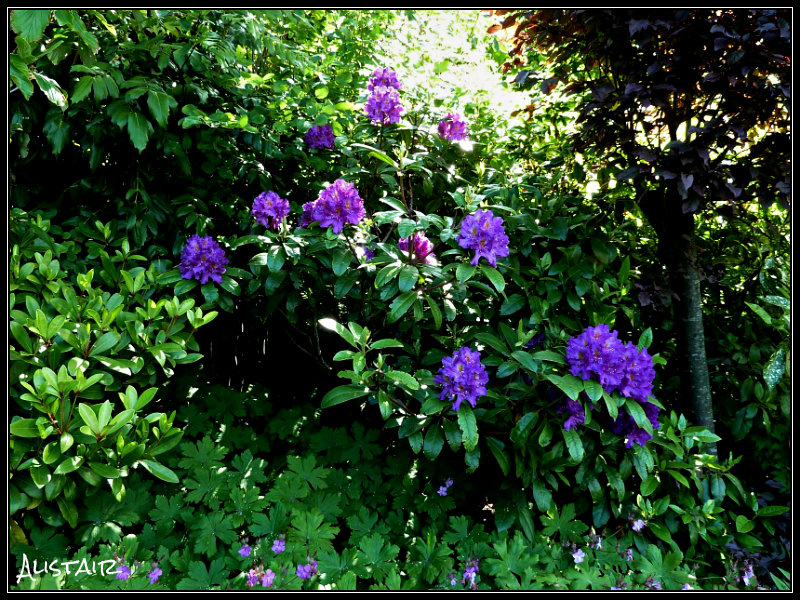 Rhododendron purple (2)