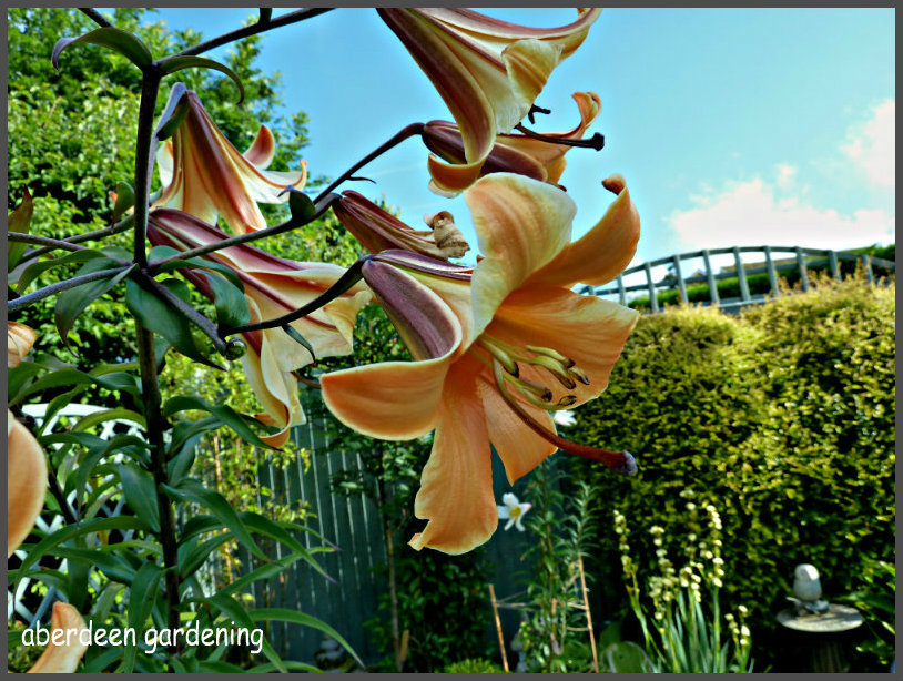 Trumpet Lily African Queen (2)