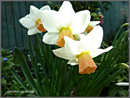 Daffodi Reggae (2)