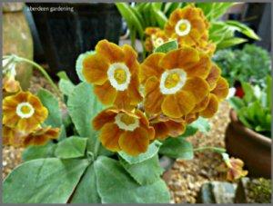 Auricula Curry blend