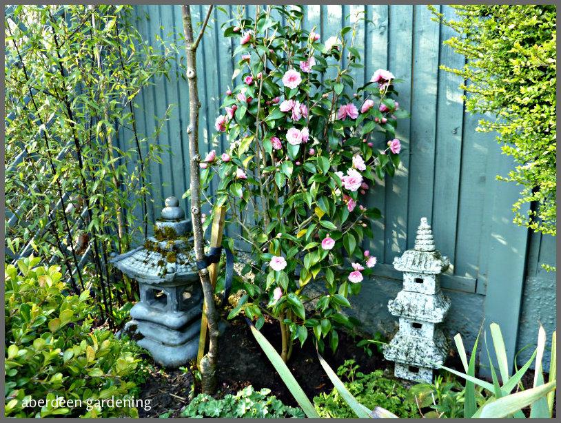 Camellia x williamsii 'Spring Festival