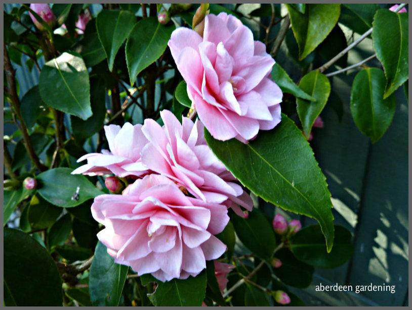 Camellia x williamsii 'Spring Festival  (3)