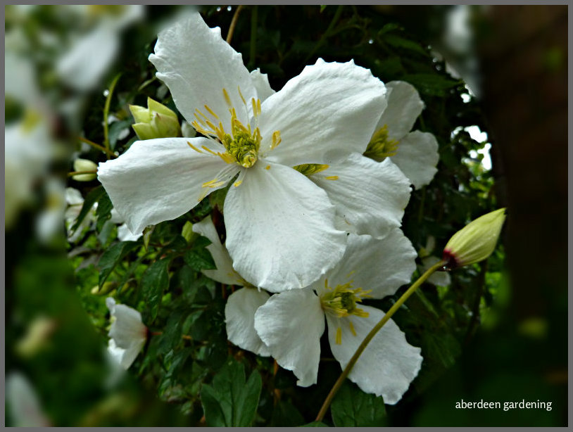 Clematis Montana Grandiflora (8)