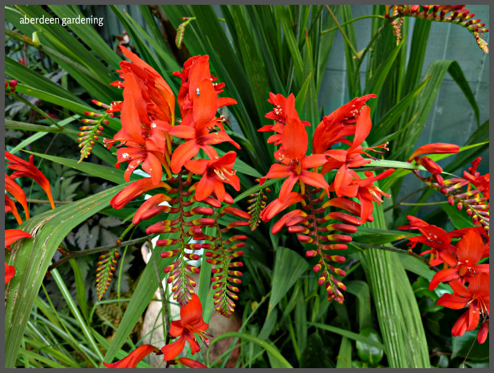 Crocosmia Lucifer (8)