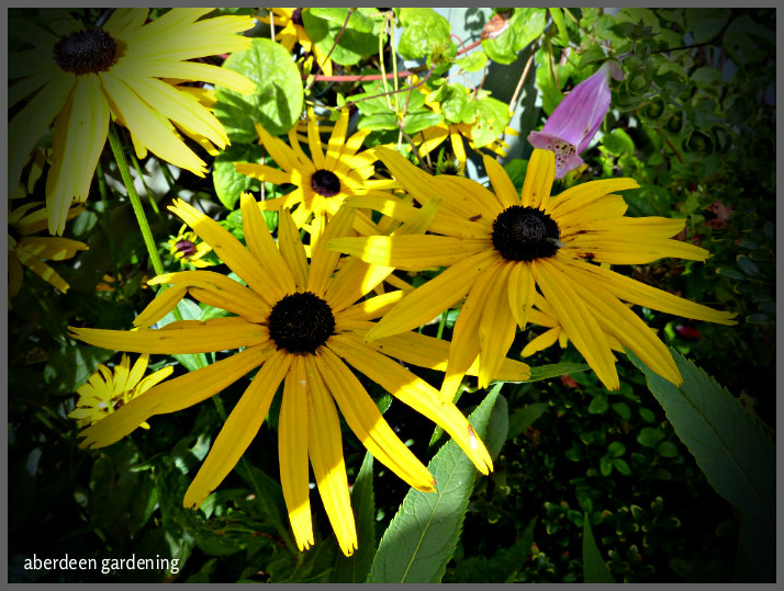Rudbeckia fulgida early bird gold (2)
