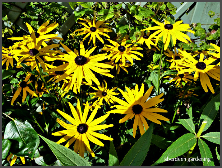 Rudbeckia fulgida early bird gold (4)