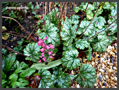 Heuchera Paris (1)
