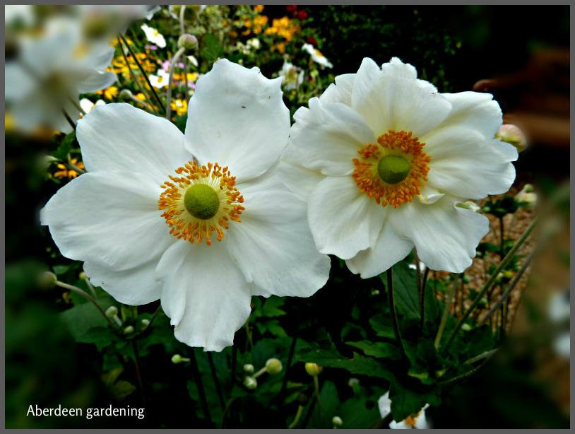 Japanese Anemone Honorine Jobert (2)