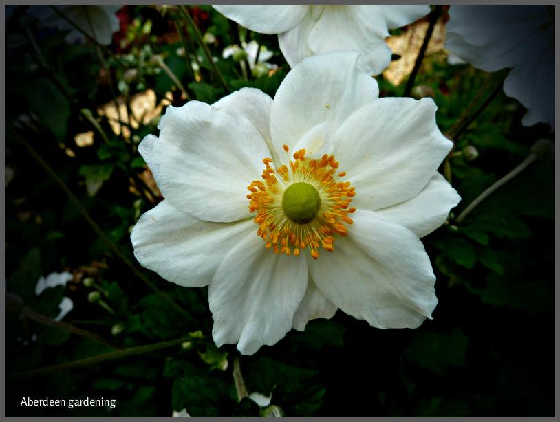Japanese Anemone Honorine Jobert (4)