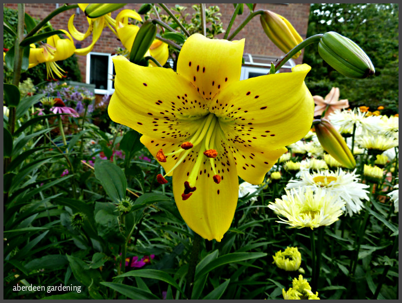 Asiatic lily pearl jennifer (2)