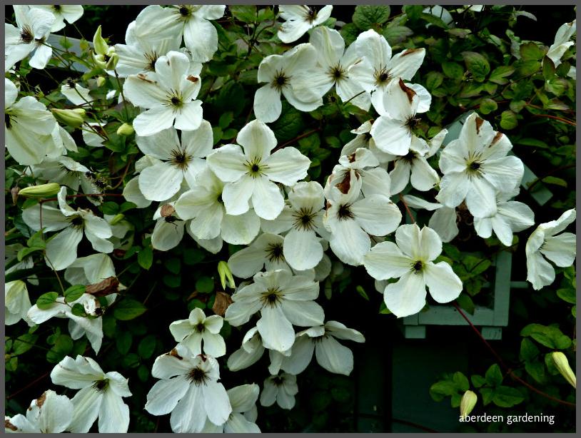 Clematis Viticella alba luxuriance (2)