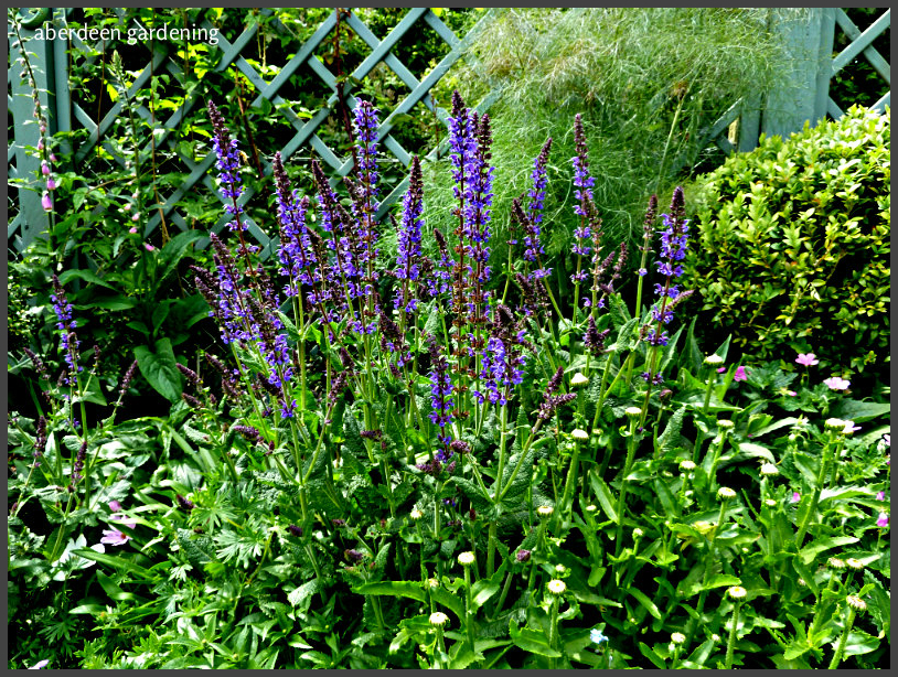 Salvia nemorosa east friesland (7)