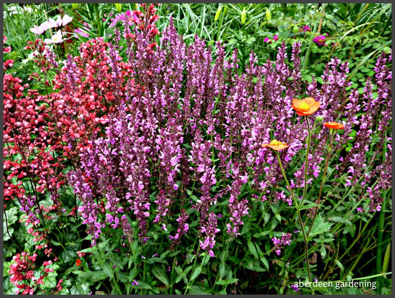 Salvia pink friesland (3)