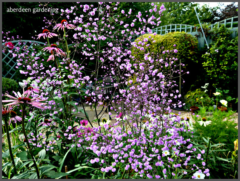 thalictrum hewitt's double (3)
