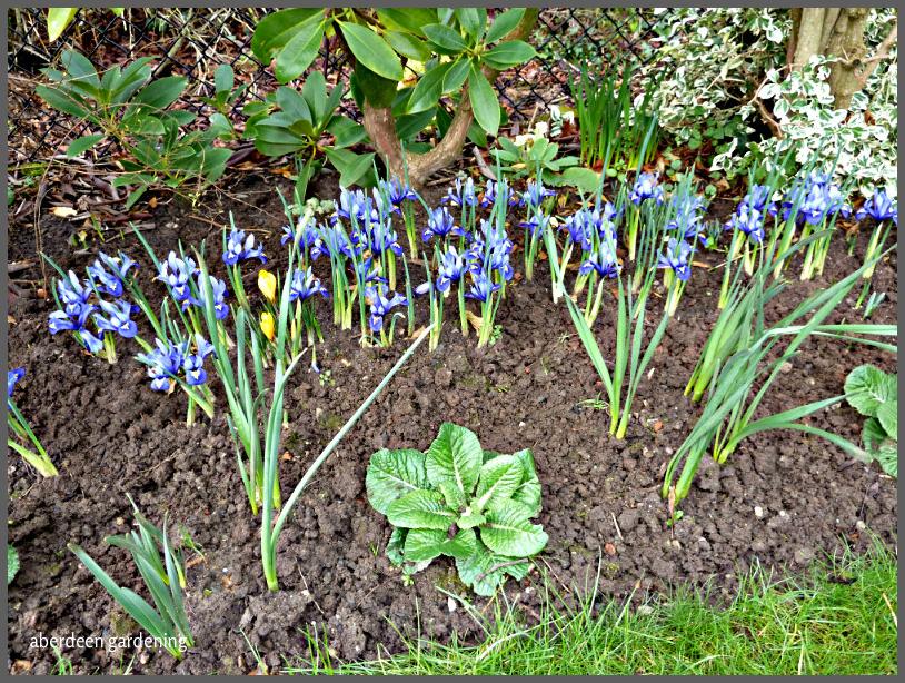 Iris Reticulata Harmony (3)