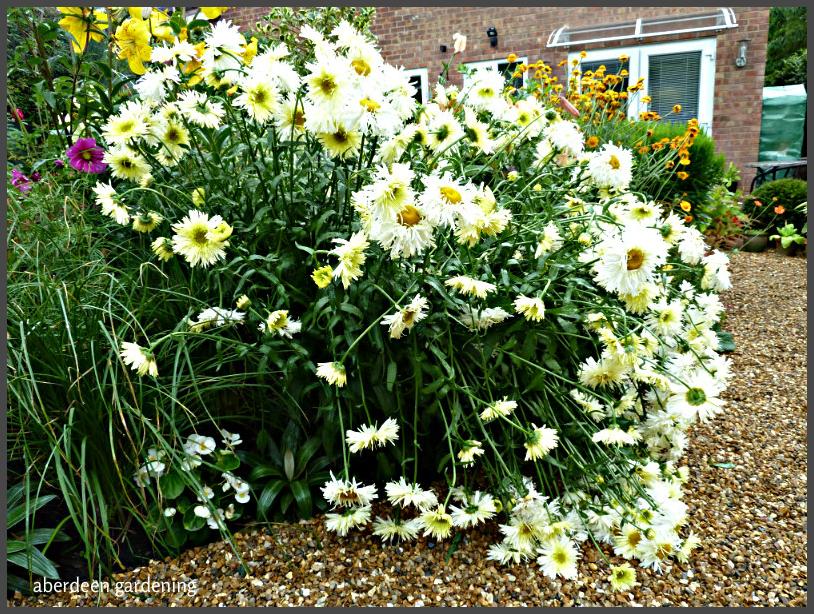 leucanthemum goldrush (15)