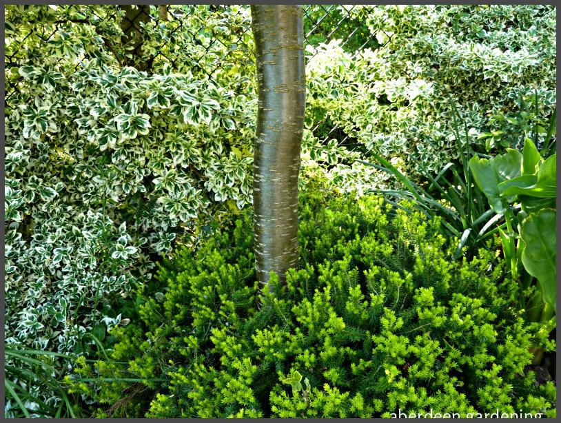 Caragana arborescens (8)