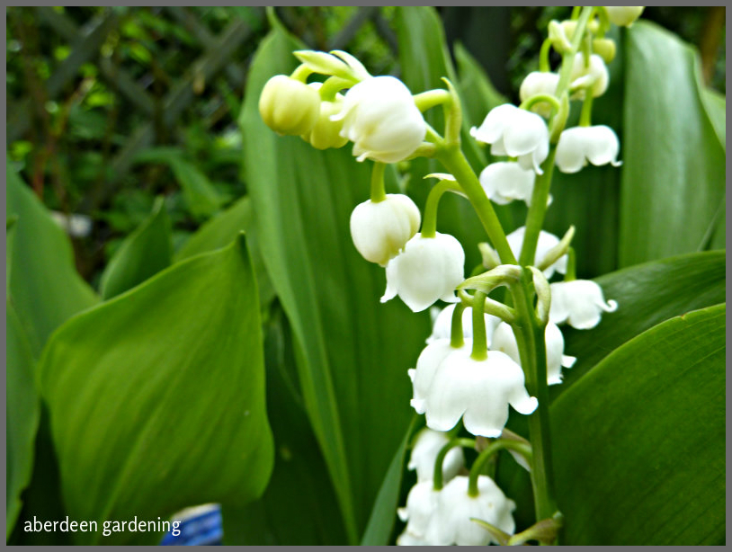 Lily of the valley 'Convallaria Majalis' (3)