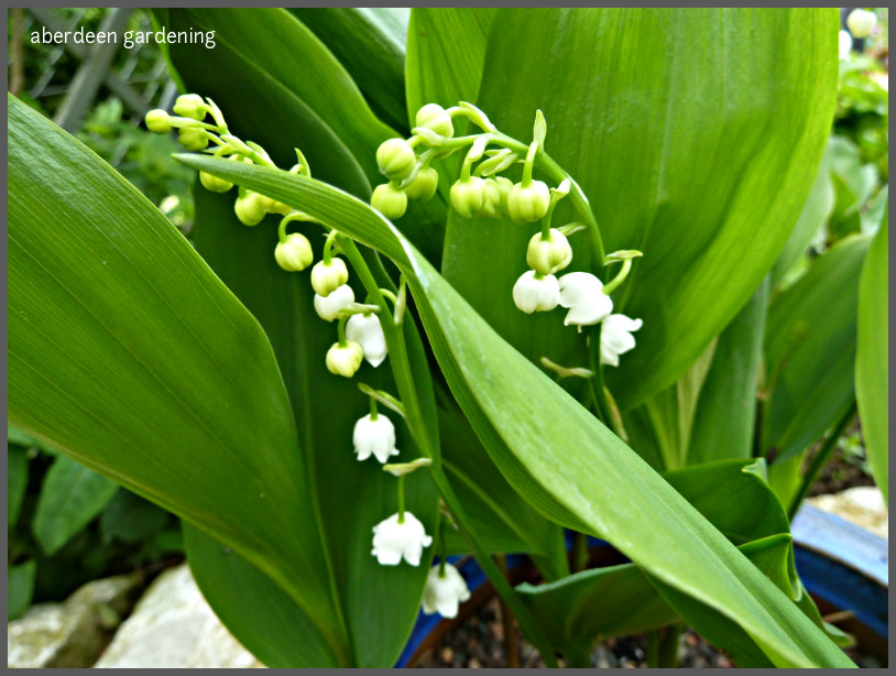 Lily of the valley 'Convallaria Majalis' (7)