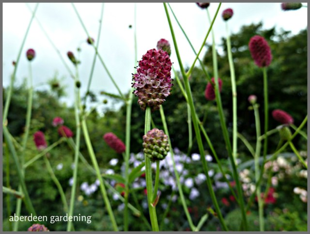 Sanguisorba officinalis 'Arnhem' (8)