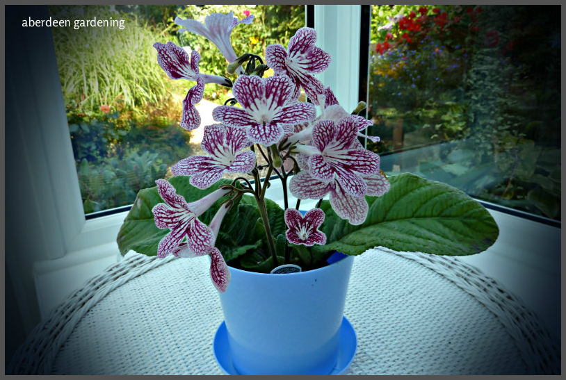 streptocarpus-polka-dot-red