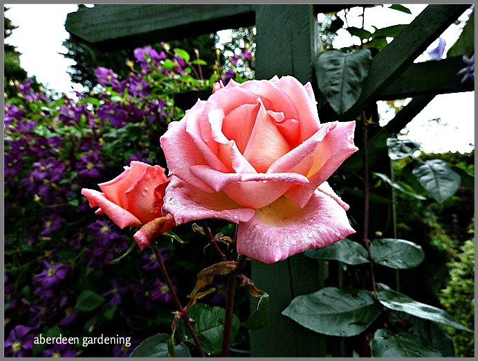 Climbing Rose Compassion