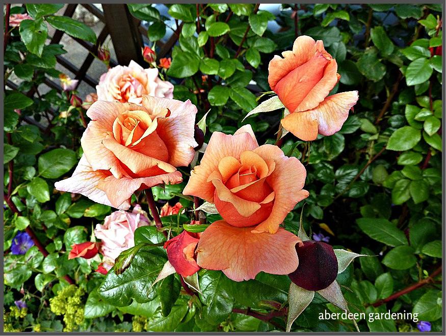 Beautiful HT Rose Laura Anne