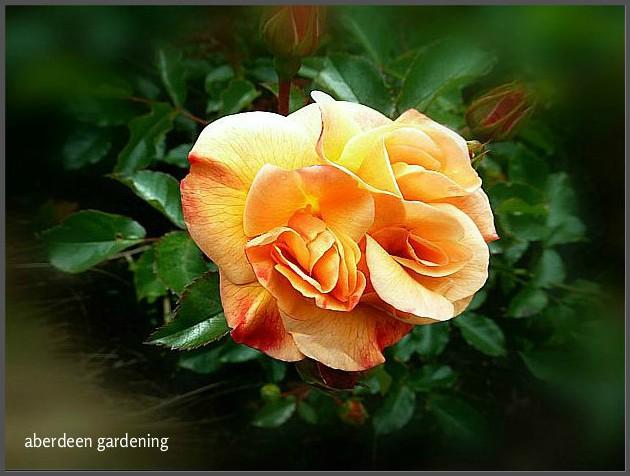 Flower carpet roe amber