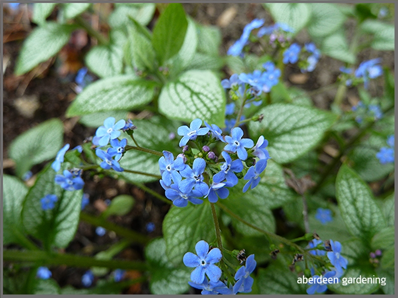 Brunnera Macrophylia Sea Heart