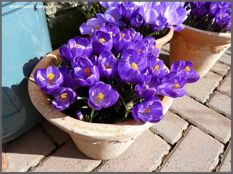 Crocus Vernus purple