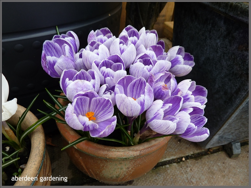Crocus Vernus Striped