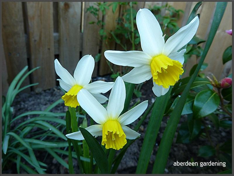 Daffodil Jack Snipe