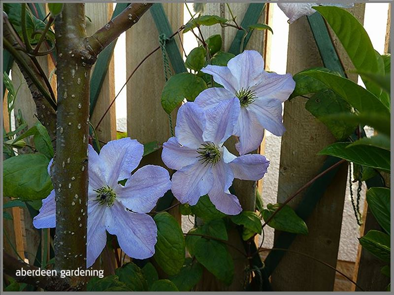 Clematis Viticella Sea Breeze