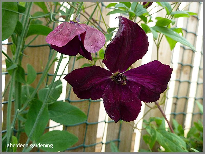 Clematis Royal velours