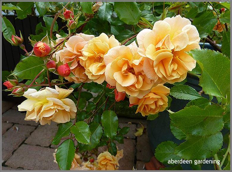 Flower carpet Rose Amber