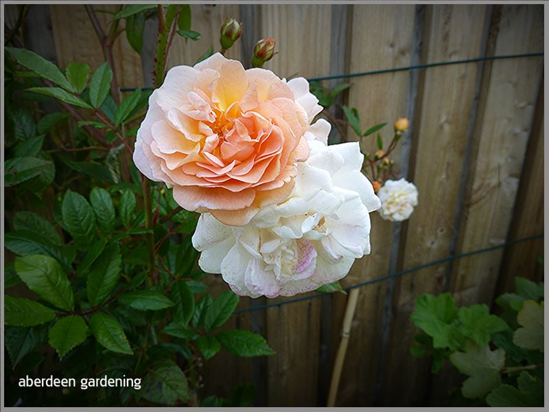 Rambling rose Ghislaine de Feligonde