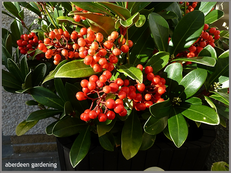 Bright red berries on Skimmia japonica Temptation mid October