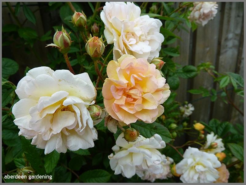 Picture shows the varying colours of flowers on Rambling Rose Ghislaine de Feligonde