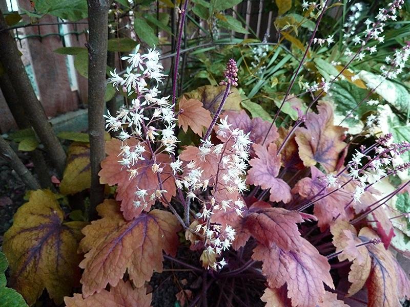 Picture showing the foamy white flowers on Heucherella Sweet Tea