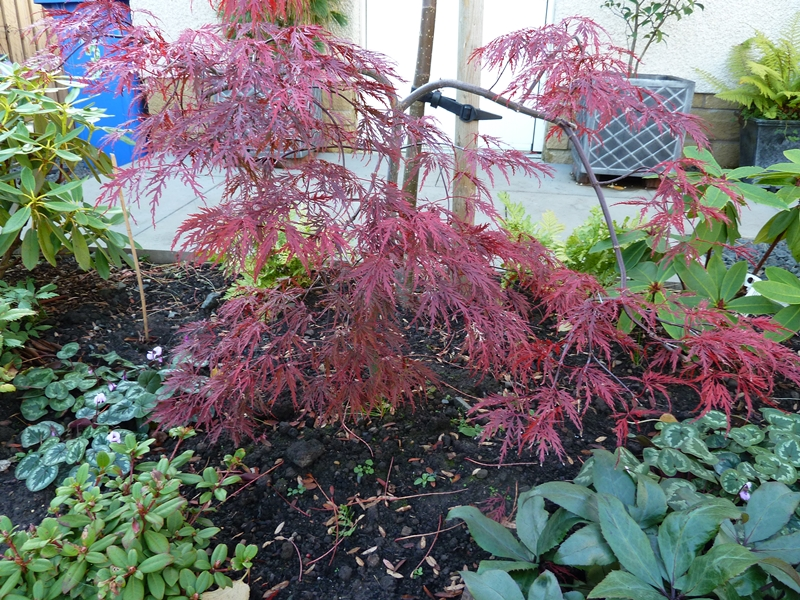 Acer Inaba Shidare  with its Autjmn shades.