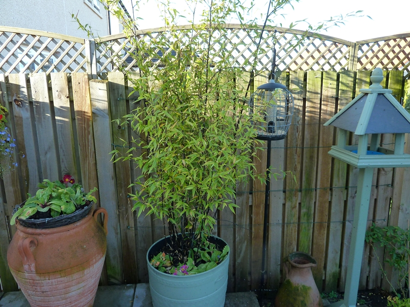Showing  Phyllostachys Nigra black bamboo growing in a container on our patio