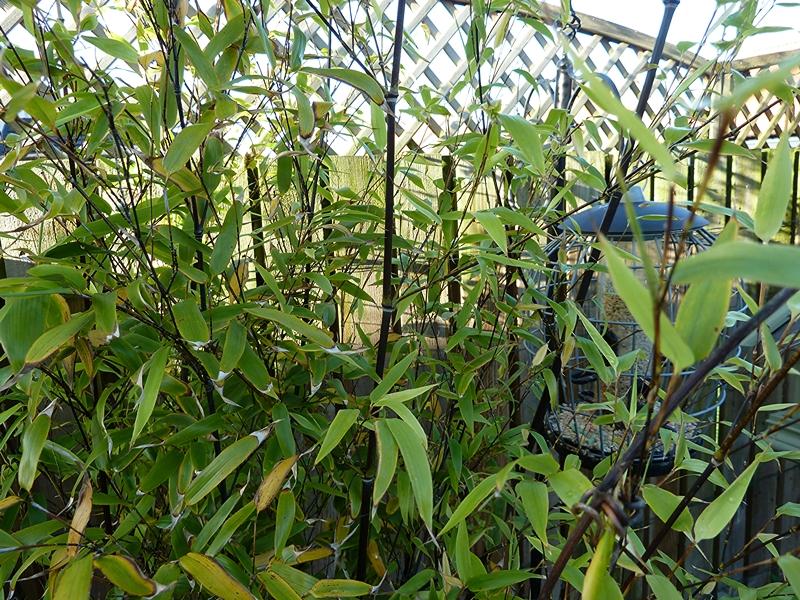 Phyllostachys Nigra black bamboo in our Fife garden