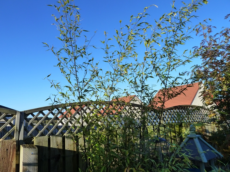 The arching stems of the  Phyllostachys Nigra black bamboo  look really good.