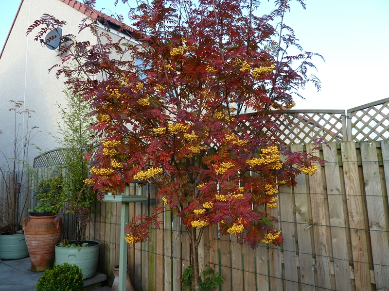 Sorbus Joseph Rock hanging on to its yellow berries  whist showing amazing Autumn leaf colour.