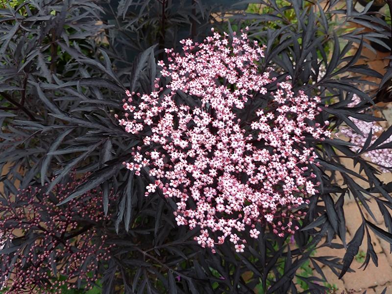 Close up shot of Sambucus Nigra Black Lacen flower