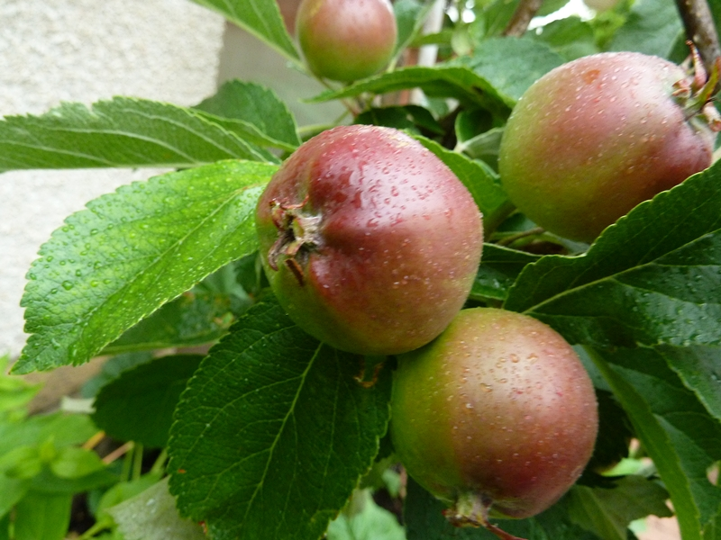 Apple tree in our garden, fruit already turning red