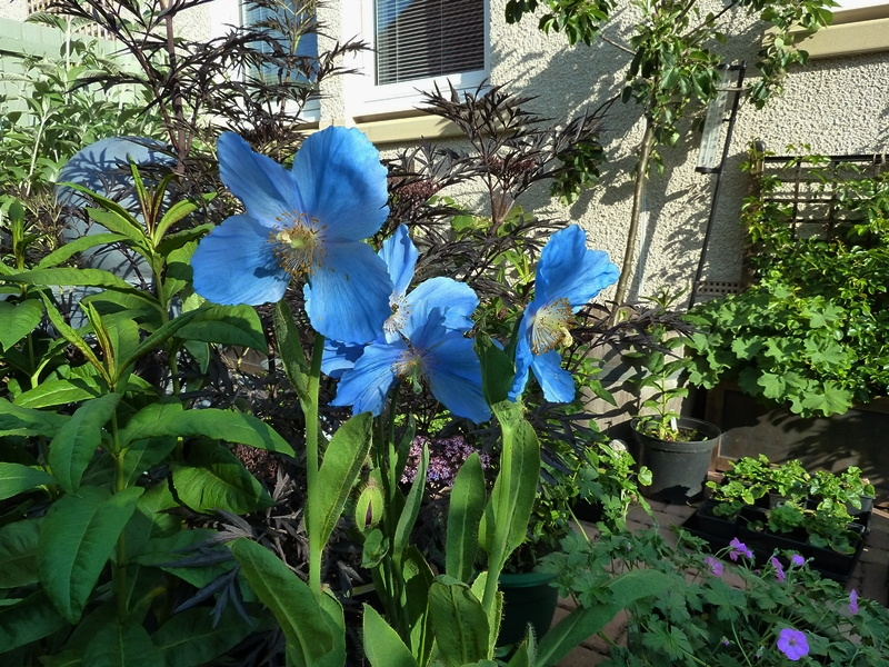 Meconopsis Lingholm blooming in early June in our courtyard