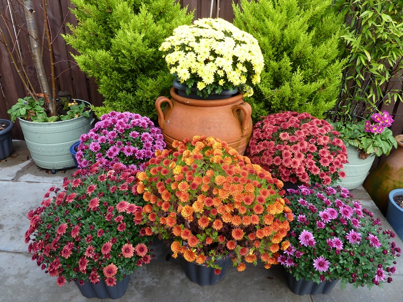 Multiflora pot chrysanthemums in our November patio.