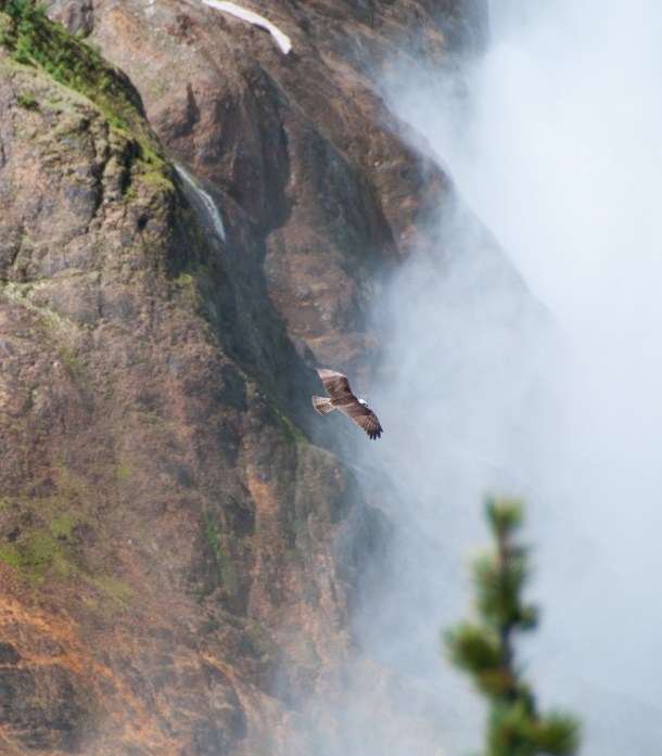 Osprey Defending Territory